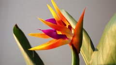 Close up view of bright tropical flower in grey room Stock Footage