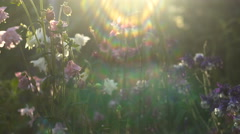 Flowers Aquilegia White and Pink in the Garden Abstract Iridescent Light Across Stock Footage