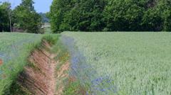 Cornflower Centaurea cyanus growing on farmland on the island Gotland Stock Footage