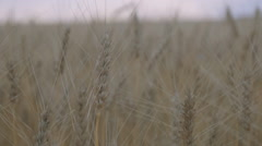 Crane shot of wheat field - stock footage