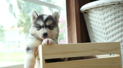 Cute siberian husky puppies paying in wooden crate - stock footage
