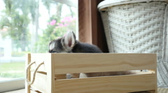 Cute siberian husky puppies paying in wooden crate Stock Footage