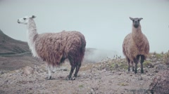 Llamas on a windy day on the Ecuadorian moors Stock Footage