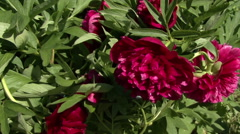 Blooming peonies. The camera moves. Stock Footage