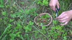 Herbalist collecting wild strawberries Stock Footage