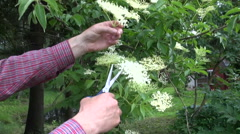 Herbalist collecting flowering sambucus nigra Stock Footage