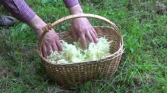 Herbalist collecting flowering sambucus nigra in wicker basket Stock Footage