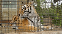 Tiger in the zoo cage - stock footage