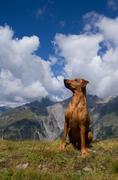 German Pinscher in alpine landscape - stock photo