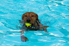 Red German Pinscher swimming - stock photo
