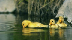 Ducklings swim in a creek Stock Footage