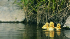 Ducklings swimming in the creek and peck - stock footage