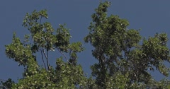 Waving branches with leaves of a Birch Tree with a cloudless blue sky in the bac Stock Footage