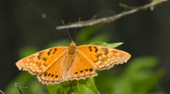 Tawny Emperor Butterfly Stock Footage
