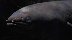 Longfin eel Stock Footage