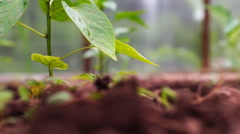 Plantation of pepper in the hothouse. Slider shot. Stock Footage