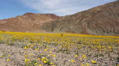 Dolly - Death Valley Desert Flower Super Bloom - Spring Stock Footage