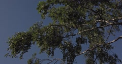 Panning underneath branches with leaves of a Birch Tree with a cloudless blue sk - stock footage