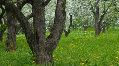 Beautiful blossoming apple-tree garden. Petals fall to the ground Stock Footage
