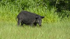 Wild Black Boar feeding - stock footage