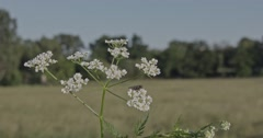 A single herb on a meadow at the countryside with trees in the background. captu Stock Footage