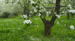 Blossoming apple-tree in the garden Stock Footage