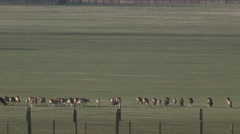 Group of Animals Runs Across Field Far Away Over the Fence Stock Footage