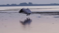 Pelican fishing at sunrise in the Danube Delta Stock Footage