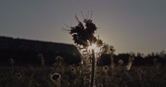 Wild herbal plant on a meadow at sunset with playing lens flares from the sun be - stock footage