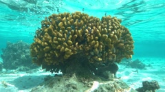 Coral with chromis fish hiding between branches Stock Footage