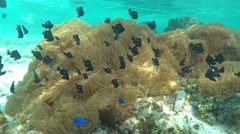 Fish shoal three-spot dascyllus above sea anemones - stock footage
