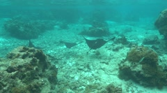 Spotted eagle rays in the lagoon French Polynesia - stock footage