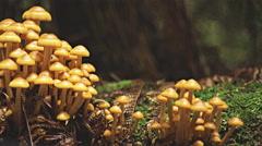 Yellow fungi growing in the tasmanian tarkine rain forest Stock Footage