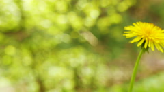 4K. Yellow  dandelion in sunny  wood. Slider shot close up - stock footage