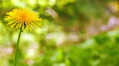 4K. Dandelion in sunny  wood. Slider shot close up - stock footage