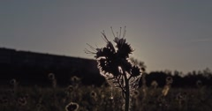 Wild herbal plant on a meadow at sunset with playing lens flares from the sun be Stock Footage