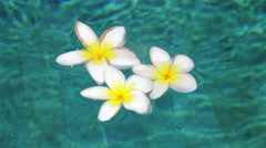 plumeria in the pool.mp4 - stock footage
