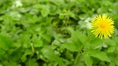 4K. Yellow  dandelion  on blur background . Slider. Focus change - stock footage