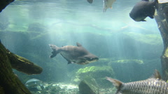 Swimming fish in the tank Stock Footage