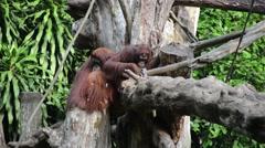 Monkeys sitting on the tree Arkistovideo