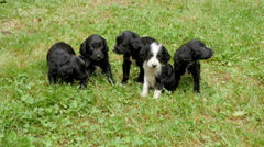 Beautiful five puppies sitting on the green grass, close up, by Pakito. Stock Footage