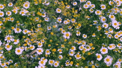 Meadow with chamomile Stock Footage