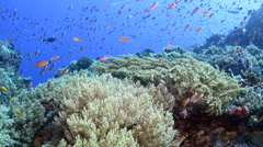 Anthias Schooling Above Soft Coral Stock Footage