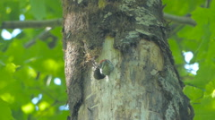 Young middle spotted woodpecker (Dendrocopos medius) calls from its nest. Stock Footage