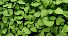 4K basil sprouts close up micro greens - stock footage