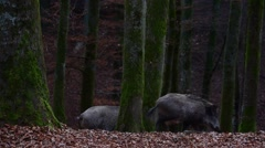 Two wild boars (Sus scrofa) foraging in broad-leaved forest in autumn Stock Footage