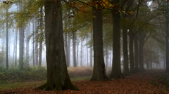 Row of beech trees in deciduous forest in autumn colours - stock footage