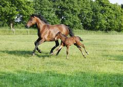 Mare with foal gallops Stock Photos