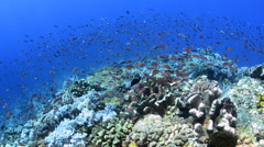 Anthias Swarming Over a Coral Reef 2 Stock Footage