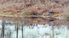 Wood sandpiper Tringa glareola feeding in a marsh lake Stock Footage